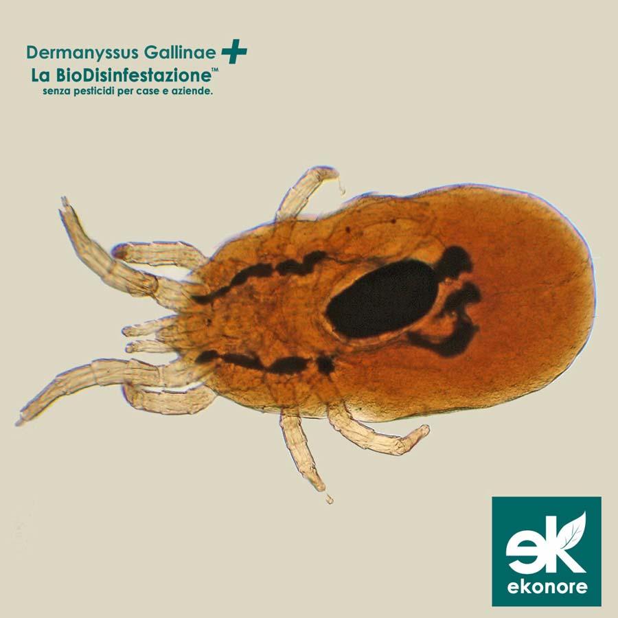 Disinfestazione Dermanyssus Gallinae Acaro rosso Napoli Azienda specializzata